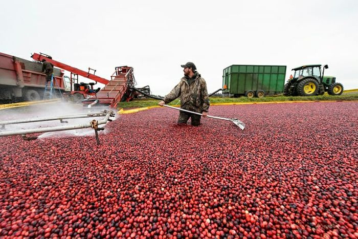A farmer harvests cranberries from a flooded marsh