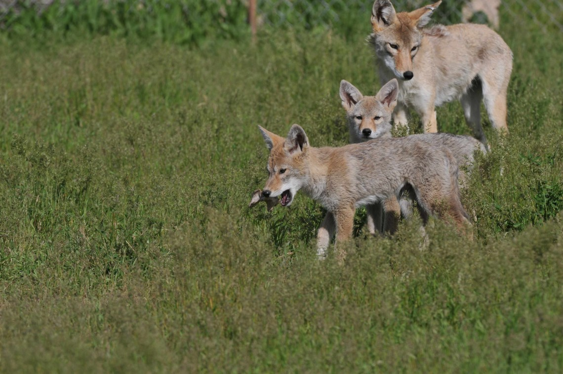 Coyotes in a field.